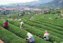 Qingdao Tea