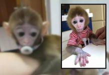 china monkey traffickers