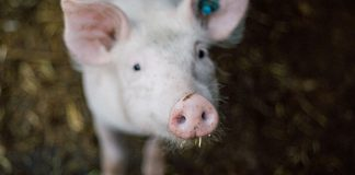 African Swine Fever in China