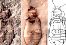 Beetlemania Hits Nanjing with 3mm Find in Paleontology