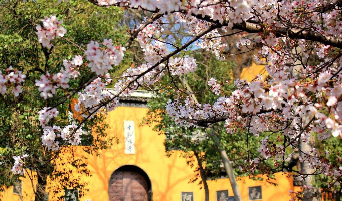 Plums, Cherries, Peaches, Violets; it's Blossom Time in Nanjing!